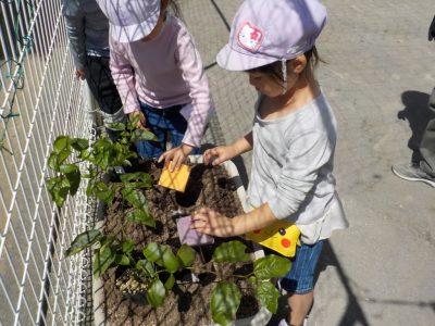 夏野菜植え!