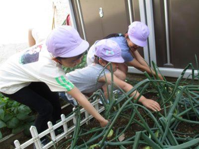 ~玉ねぎの収穫~